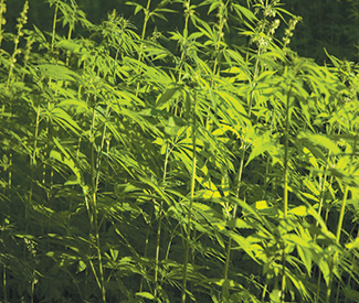 Industrial hemp legalized in California
