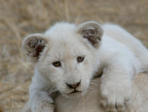 Save the white lion: Author on a quest to re-wild rare kitties